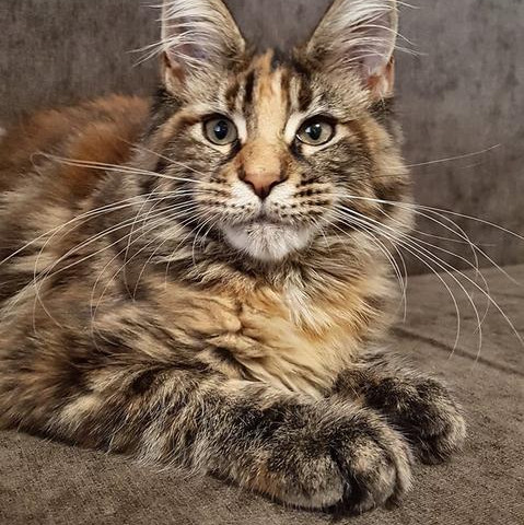 src/main/resources/imagery/MaineCoon-cropped.jpeg